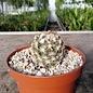 Coryphantha pygnacantha