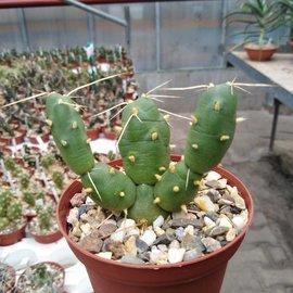 Tephrocactus reicheanus