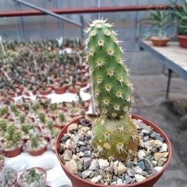 Tephrocactus sphaericus   Las Chilcos Pass