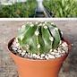 Echinopsis eyriesii-Hybr