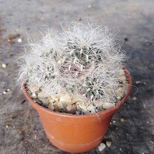 Sulcorebutia senilis n.n JD 330