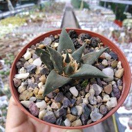Ariocarpus trigonus  v. horaceki (=minor)    CITES, not outside EU