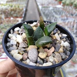 Ariocarpus fissuratus v. lloydii CITES, hors de l'UE
