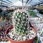 Gymnocactus horripilus      CITES, not outside EU