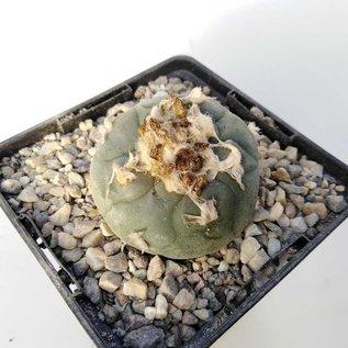 Lophophora caroli-veitchii   San Francisco SLP