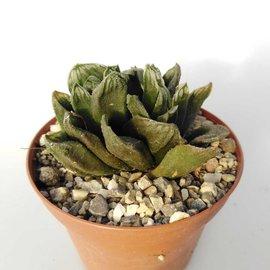 Haworthia maughanii  x guttata
