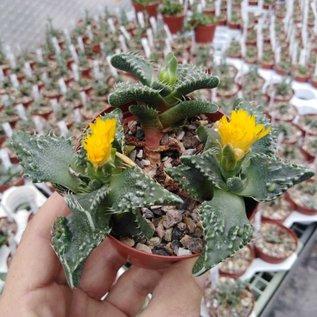 Faucaria tuberculosa  cv. Sato