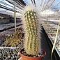 Echinocereus freudenbergeri   südl. Quadro Cien