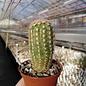 Echinocereus pectinatus   Arbolitos, SLP, Mexiko