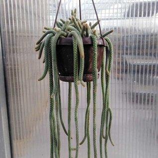 Chamaecereus spec.nov. luisramirezii