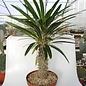Pachypodium lamerei XL