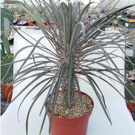Pachypodium geayi XL