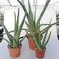 Aloe vera syn. barbadensis HEILALOE