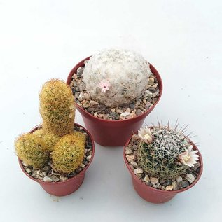 Selection Mammillaria