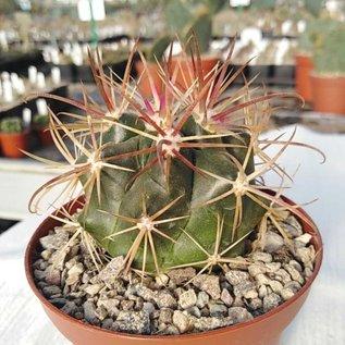Ferocactus viridescens v. litoralis cv. Borstendornen  Baja California