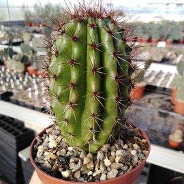Marshallocereus thurberi