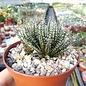 Aloe haworthioides      CITES, not outside EU