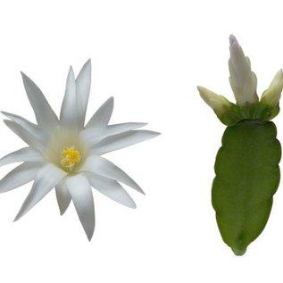 Rhipsalidopsis-Hybriden Sirius