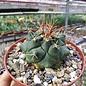Thelocactus tulensis  v. matudae