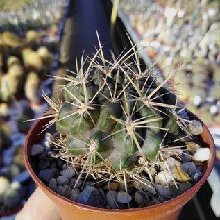 Horridocactus spec. starksprossend