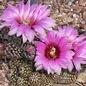 Echinocereus reichenbachii  HK 1228     (dw)