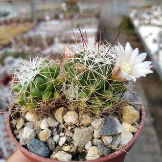 Mammillaria gracilis-Hybr. Oli
