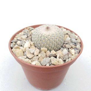 Epithelantha greggii  v. densispina