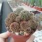 Lobivia arachnacantha  v. torrecillasensis