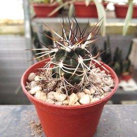 Echinocereus viridiflorus ssp. davisii  Nördlich von Mexiko City bis Kalifornien, Utha, Wyoming und Southdakota, sehr warme Steppen