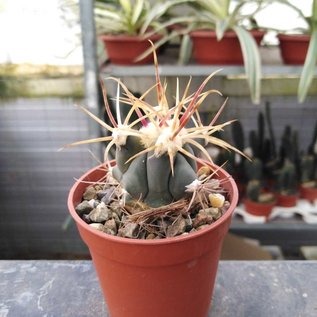 Ferocactus emoryi x rectispinus