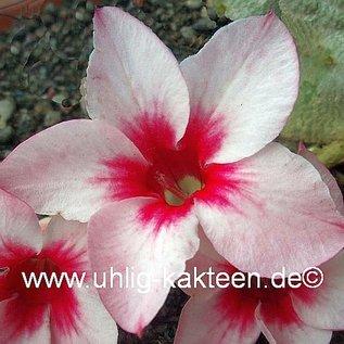 Adenium obesum cv. Star Legancy XL   gepfr.
