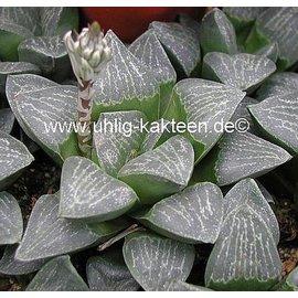 Haworthia pygmaea argenteo maculosa