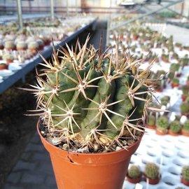 Pyrrhocactus horridus   Punitaqui, N-Chile