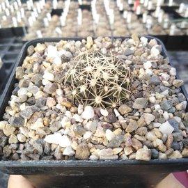 Escobaria missouriensis ssp. asperispina      (dw)