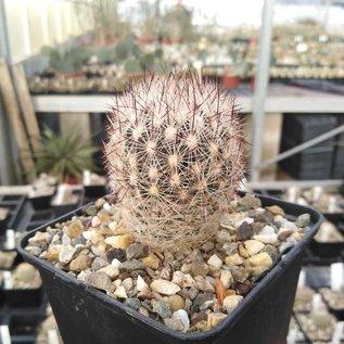 Escobaria vivipara Lz 128 v. arizonica Quemado, NM