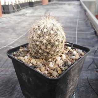 Escobaria vivipara LZ 750 vivipara f. radiosa Madrid, NM, um 1760 m, Lehmsandboden mit Granitanteilen    (dw)