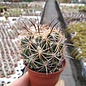 Coryphantha cornifera