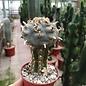 Lophophora williamsii    gepfr.