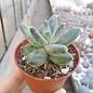 Pachyphytum compactum