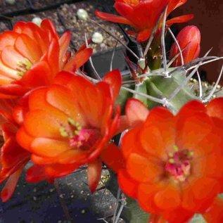 Echinocereus triglochidiatus SB 1598  Otero Co. New Mexico    (dw)