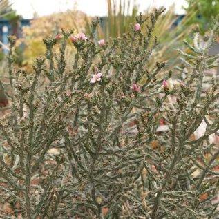 Cylindropuntia kleiniae       (dw)