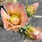 Cylindropuntia spec. cv. Frank eingezogen zu Typ 3 Frank     (dw)