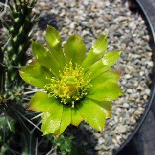 Cylindropuntia whipplei W. Fredonia  West Fredonia, AZ    (dw)