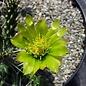 Cylindropuntia whipplei  f. Fredonia W. Fredonia, AZ    (dw)