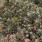 Cylindropuntia whipplei cv. Wien 222      (dw)