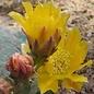 Opuntia basilaris  cv. Prairie Fire     (dw)