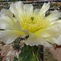 Opuntia erinacea  v. utahensis (pinkave) Torrey Utah    (dw)