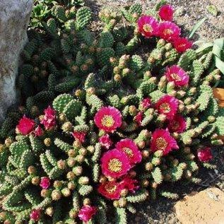 Opuntia fragilis  cv. Freiberg     (dw)