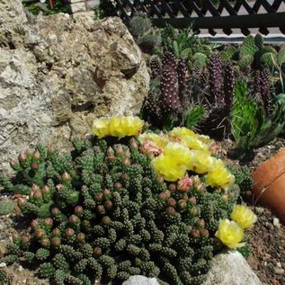 Opuntia fragilis  cv. Frankfurt     (dw)