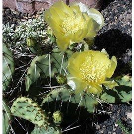 Opuntia phaeacantha  v. gigantea     (dw)
